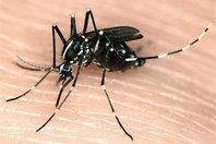 Asian tiger mosquito [Susan Ellis/Bugwood.org]
