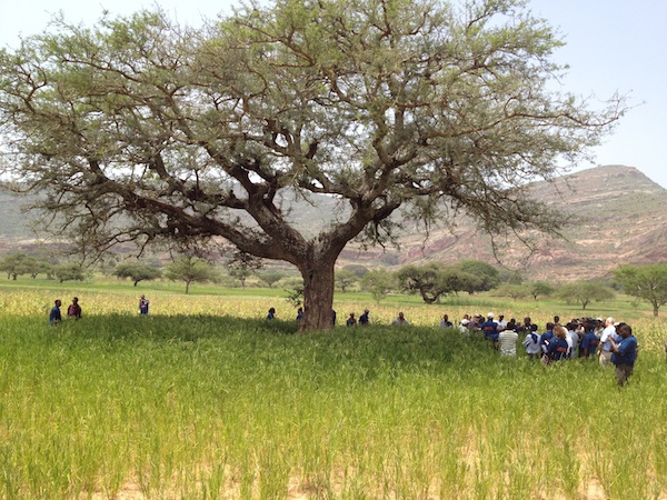 People under a faidherbia fertilizer tree in Tigray, Ethiopia. [Chris Armitage]