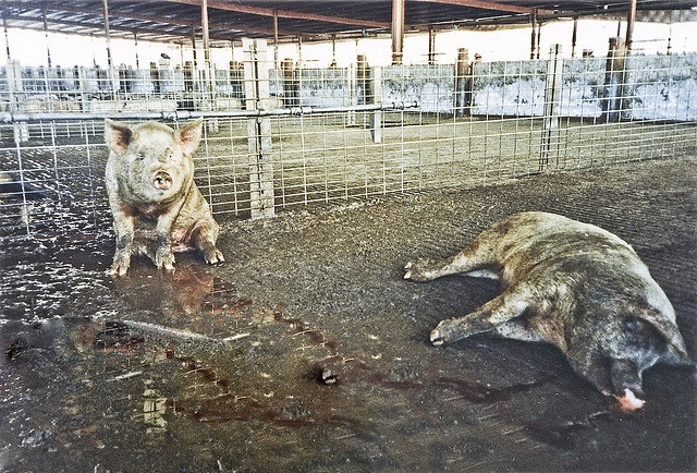 inhumane treatment of farm animals Many slaughterhouses are called out by workers or outside sources for inhumane treatment of farm animals in 1997, gail eisnitz.