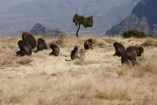Galada baboons in the Simien National Park.