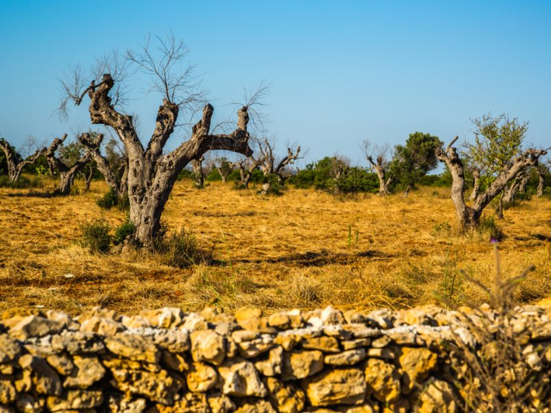 Olive Trees Killer Could Cost Europe S South Dear New Study