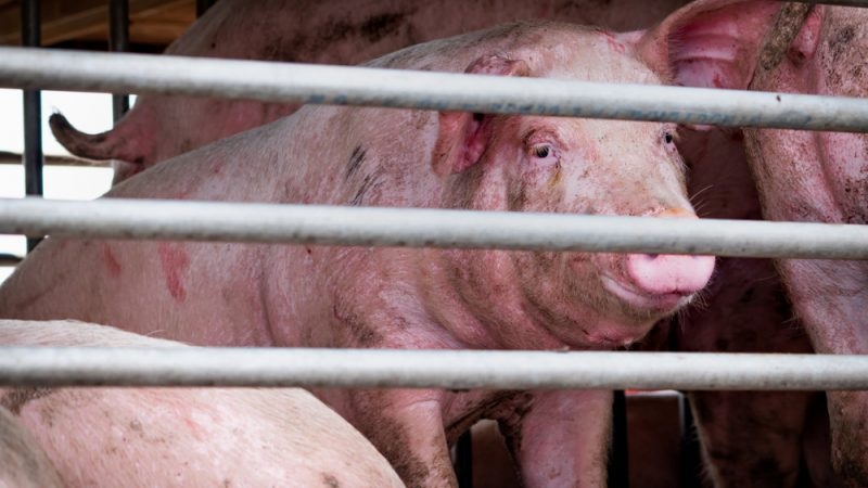 Europe on high alert as deadly pig disease sweeps through Asia