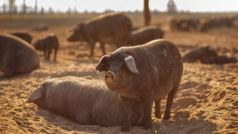 Croatia takes preventive action to keep African swine fever away