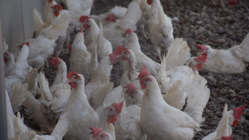 Six million fewer chickens slaughtered weekly in EU after Mercosur pact